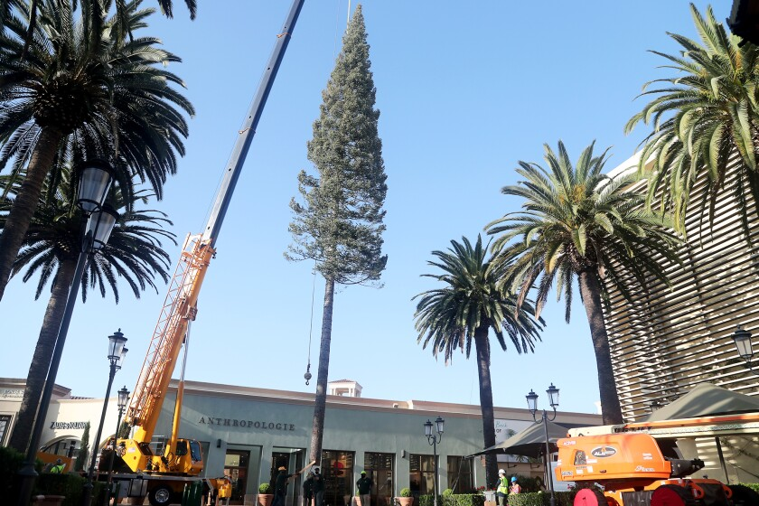 Fashion Island's 90-foot-tall white fir Christmas tree is lowered by a crane into place.