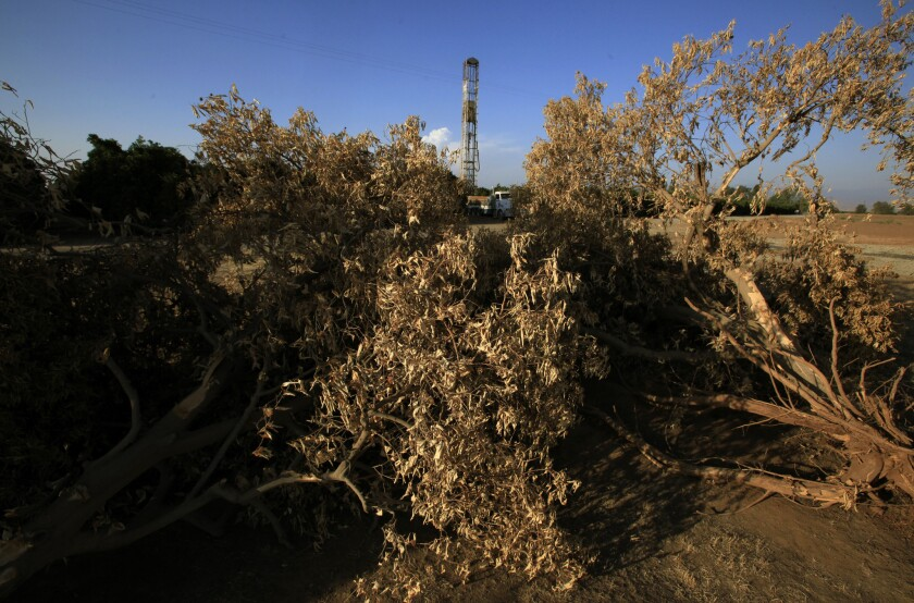 Dead trees stand in a field in Terra Bella, Calif., where a drilling rig bores a well.
