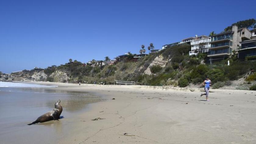 El 30 de marzo pasado, un corredor pasa junto a un león marino adulto varado en Laguna Beach. En números record en California se registran ya una cantidad muy grande de lobos marinos bebés hambrientos.