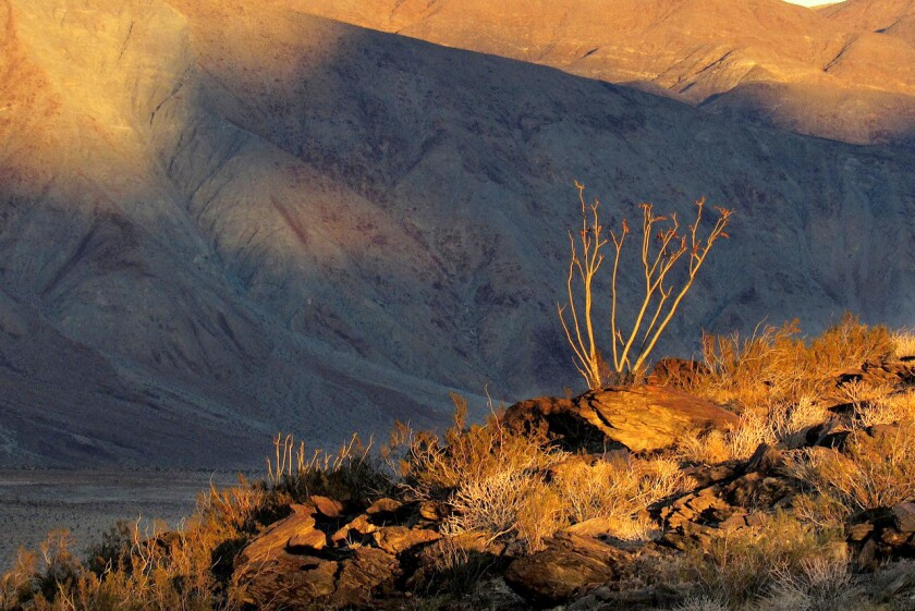 Climate change is being blamed for causing plant die-offs in Southern California Anza-Borrego Desert Research Center.
