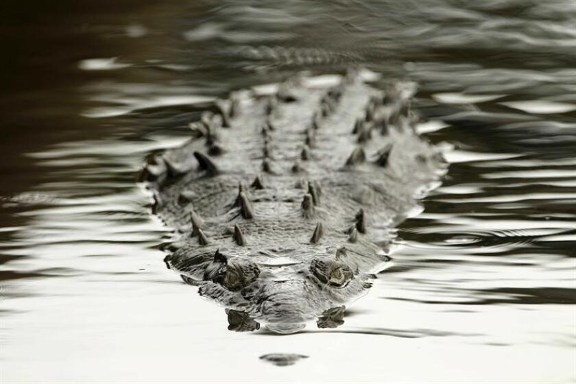 Un equipo científico dirigido por Matthew Shirley, de la Florida International University (FIU), ha descubierto una nueva especie de cocodrilo africano, la primera en casi 85 años, informó hoy ese centro universitario. EFE/Archivo