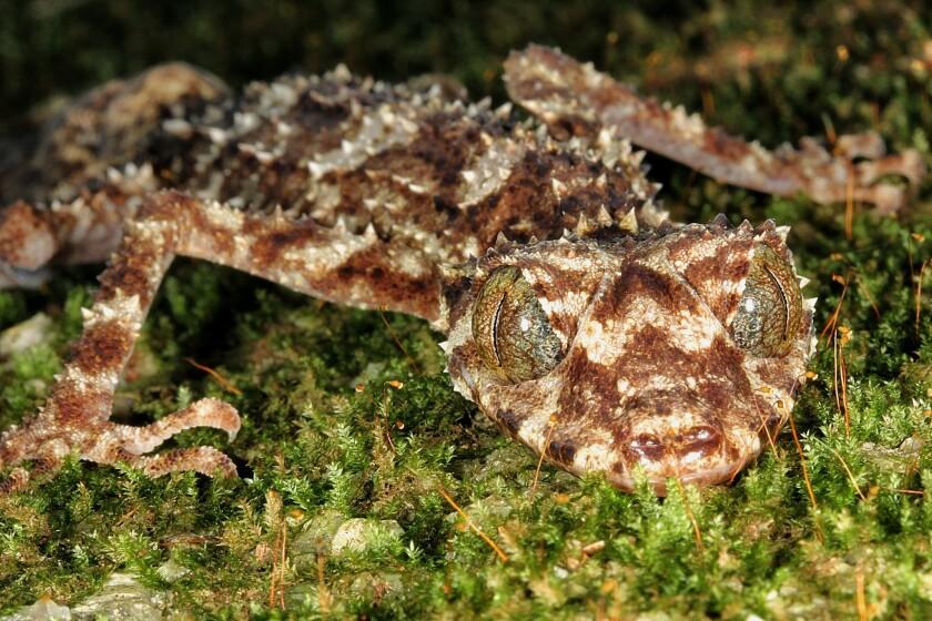 Saltuarius eximius