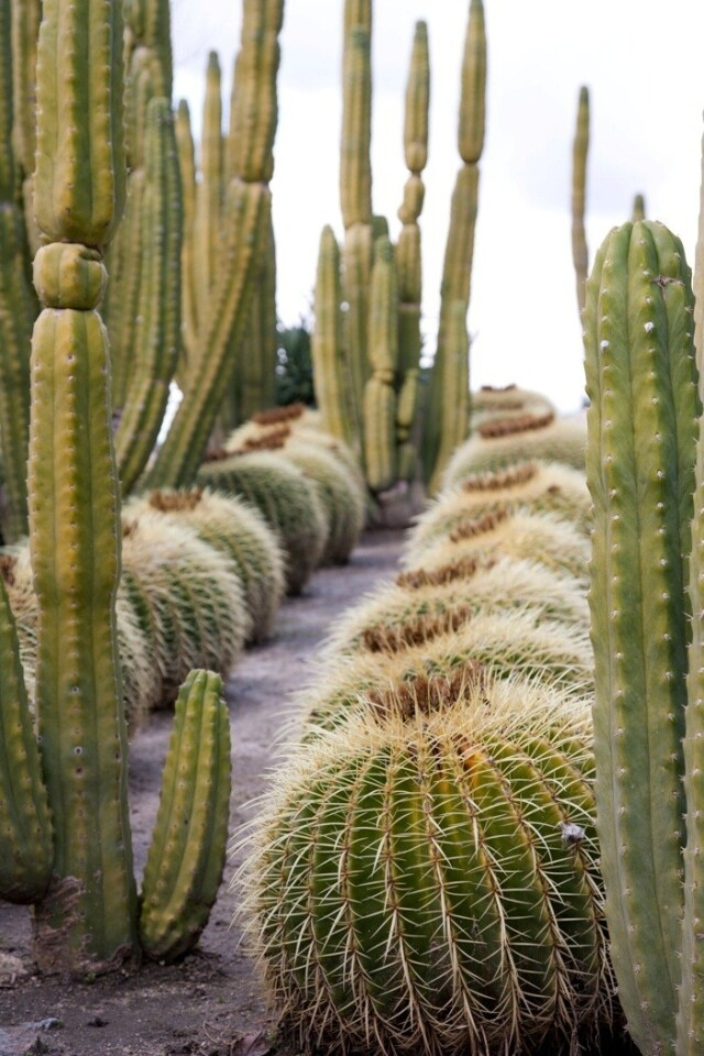 The modern garden of artists Roy Dowell and Lari Pittman have golden barrel cactuses arranged in uniform rows. The plants tilt toward the south to reduce sun exposure to their sides.