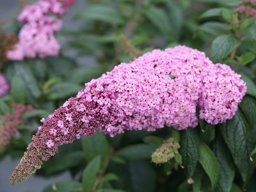 Pugster Pink butterfly bush flower