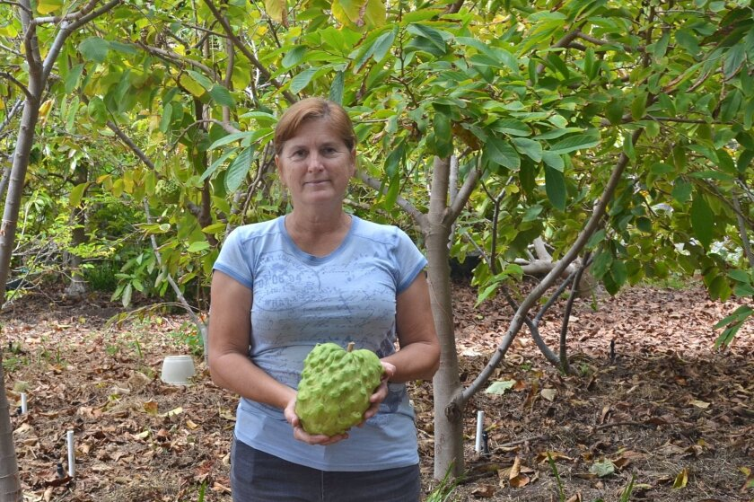Coral Tree Farm and Nursery owner Laurel Mehl holds a cherimoya that she grew on the 2-acre property. The farm recently began selling produce boxes again, but the future of events there is still up in the air. Photo by Jared Whitlock