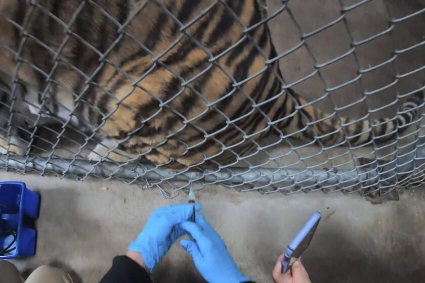 California: Zoológico vacuna contra COVID-19 a felinos y hurones - Los Angeles Times