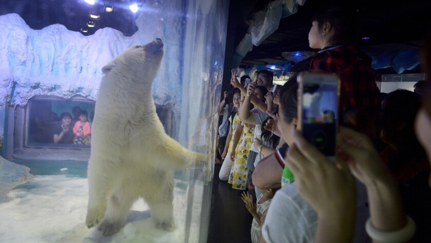 Visitors take photos of Pizza, the polar bear, inside its enclosure at the Grandview Mall Aquarium in the southern Chinese city of Guangzhou.