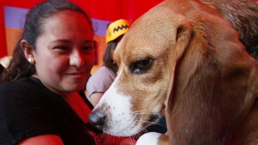 Denise Vazquez, from Tijuana, to know one of the Beagles at the Beagle Freedom Project area. (John Gibbins)