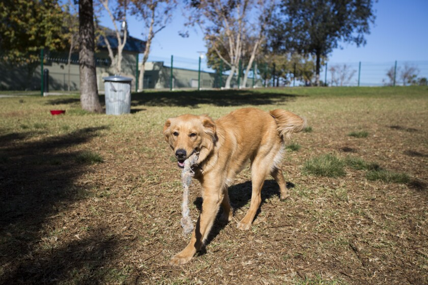Neeko, a 7 month old Golden Retriever owned by Sara Rivera, fetches his rope inside the new dog park.
