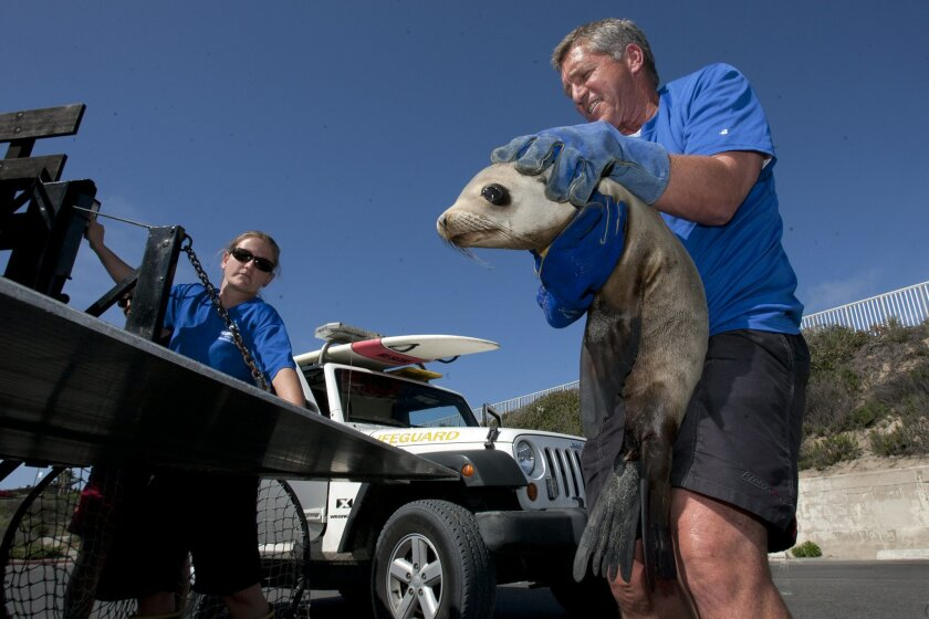 Sea World senior animal care specialist Mark Bressler loads a rescued sea lion pup into the Sea World truck Thursday in Carlsbad.