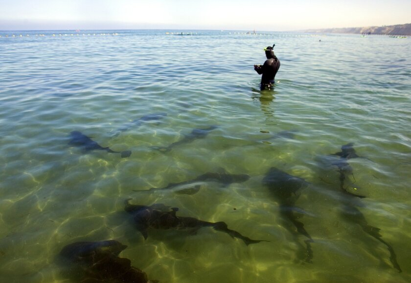 Leopard sharks -- harmless to humans -- are a common sight off La Jolla Shores Beach and are especially visible during the summer.