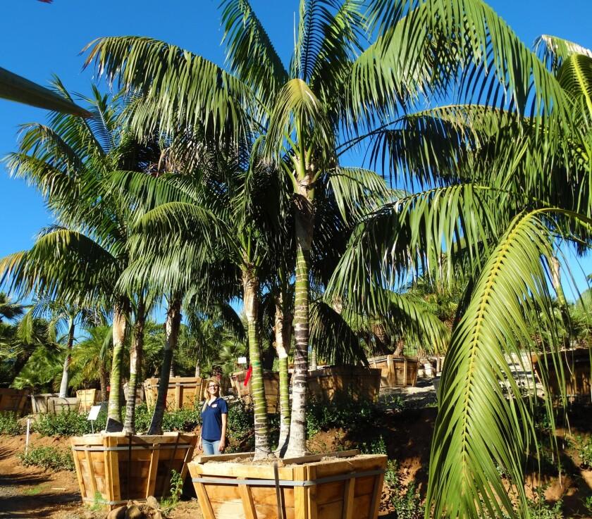 Kentia Palm Specimen