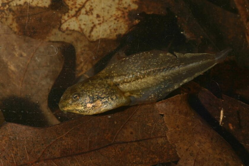 After prolonged exposure to stress hormones signaling predator attacks, this wood frog tadpole increased the length of its tail, which would allow it to swim away faster, a new study shows.