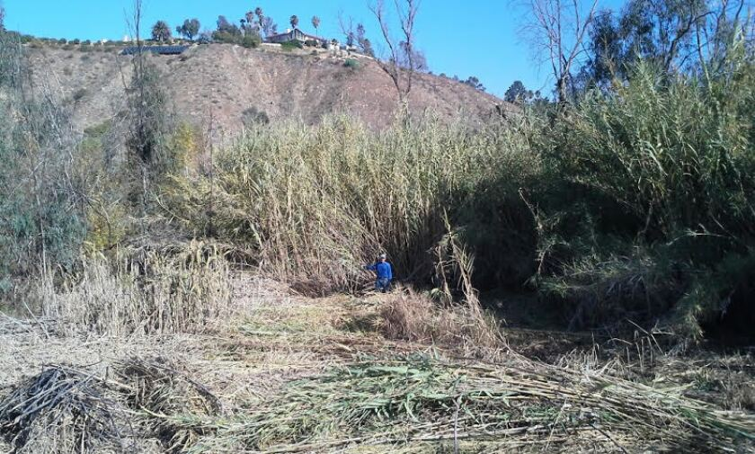 A California Native Plant Society volunteer standing in front of arundo.