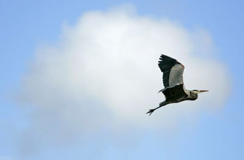 A great blue heron flew among the clouds above the San Dieguito Wetlands yesterday. (Nancee E. Lewis / Union-Tribune)