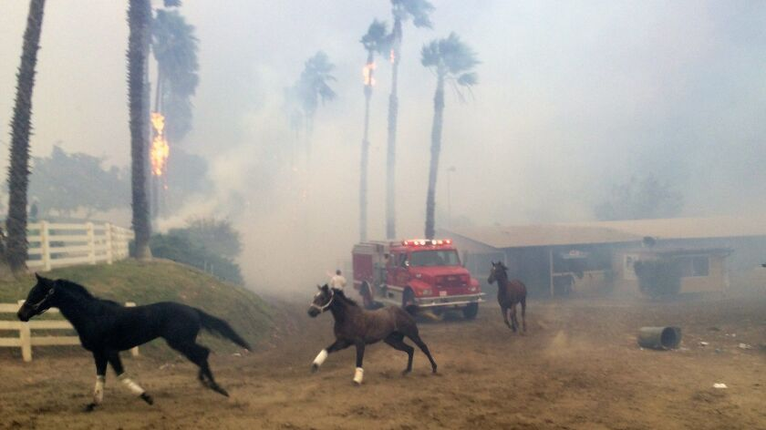 Terrified horses gallop from San Luis Rey Downs as the Lilac Fire sweeps through the horse-training