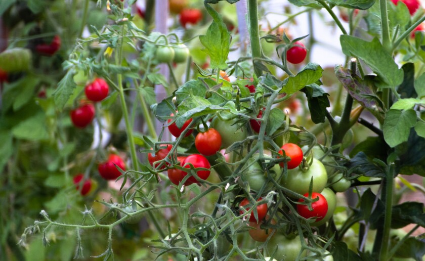Bunch of Tomatoes Freshly grown in greenhouses hanging. Red ripen and Green unripen tomatoes growing naturally, organically and freshly. Red, Green, Plant