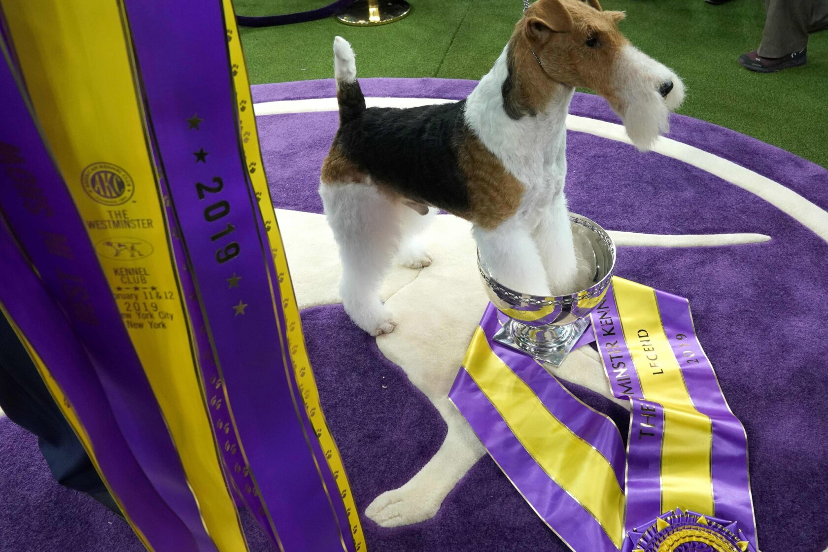 Westminster Dog Show 2020 Results.At Westminster Dog Show King The Wire Fox Terrier Takes The