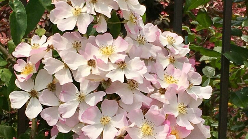 Lyda Rose blooms in huge clusters of pink and white apple-blossom-like blooms. It is an incredibly c