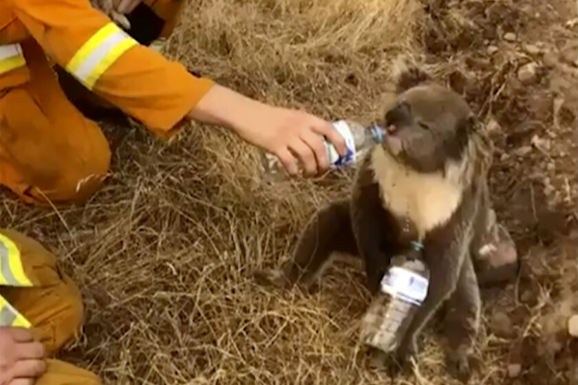 An image from a Dec. 22 video shows a firefighter giving a koala a drink of water in Cudlee Creek, Australia.