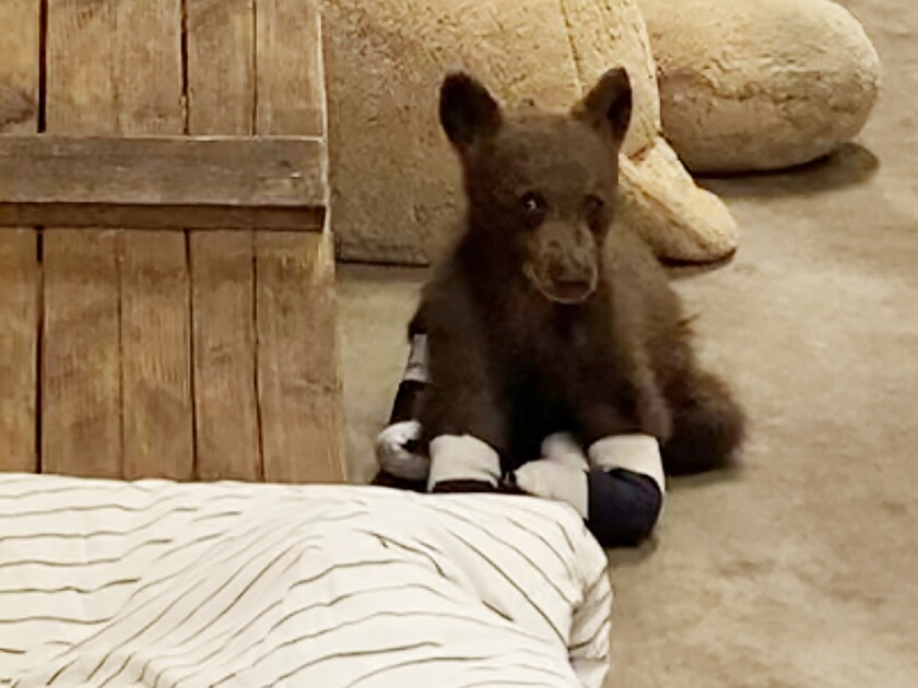 A young bear with bandaged paws