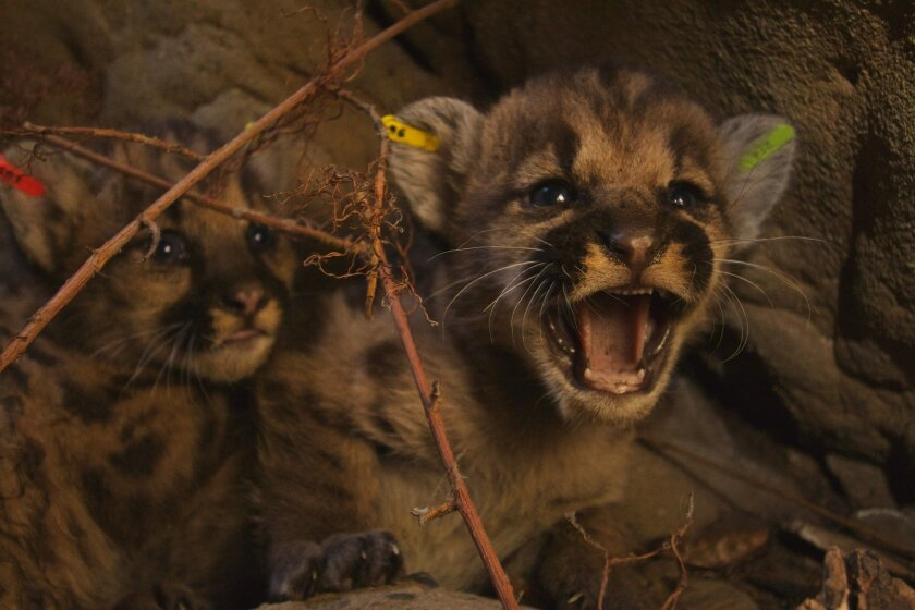 This June. 22, 2016, photo released by the National Park Service shows kitten siblings in the eastern Santa Susana Mountains. National Park Service researchers discovered two litters of mountain lion kittens in June 2016. A total of five kittens, three females and two males, were ear tagged and returned to their respective dens.