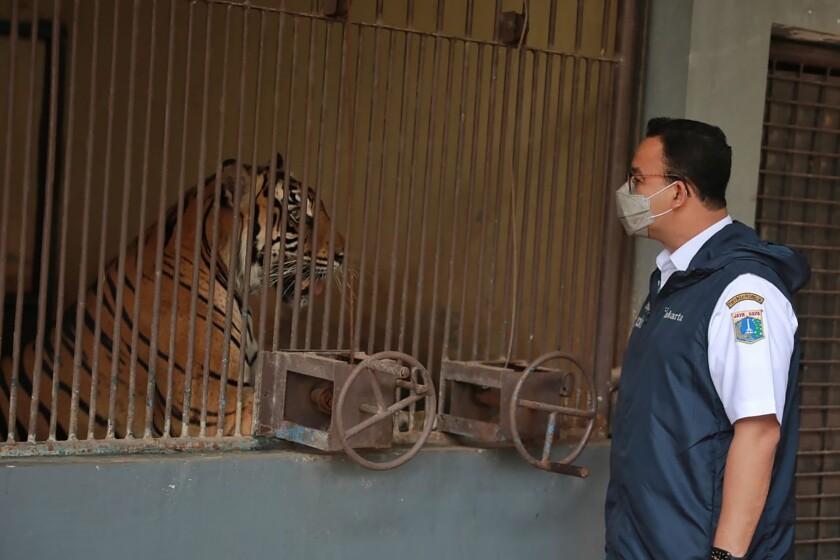 En esta fotografía difundida por el gobierno de la provincia de Yakarta, Anies Baswedan, gobernador de Yakarta, visita a uno de los dos tigres de Sumatra que se contagiaron de COVID-19 en el Zoológico Ragunan, el 31 de julio de 2021, en Yakarta, Indonesia. (Dadang Kusuma WS/Gobierno de la provincia de Yakarta vía AP)