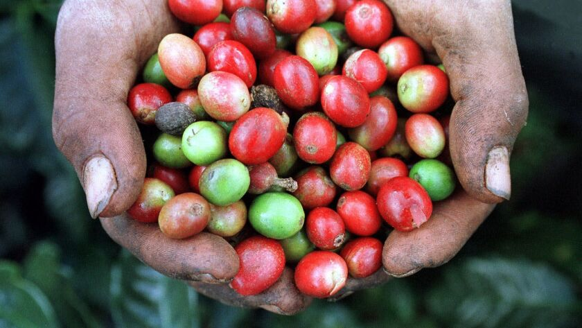 A picker holds a handful of coffee beans at a plantation in La Libertad, Honduras, that has found a steady market in Taiwan.