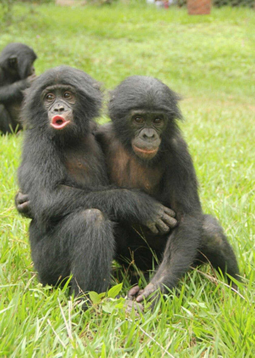 A study found that young bonobos raised by their mothers are better able to control negative emotional reactions and comfort others in distress.