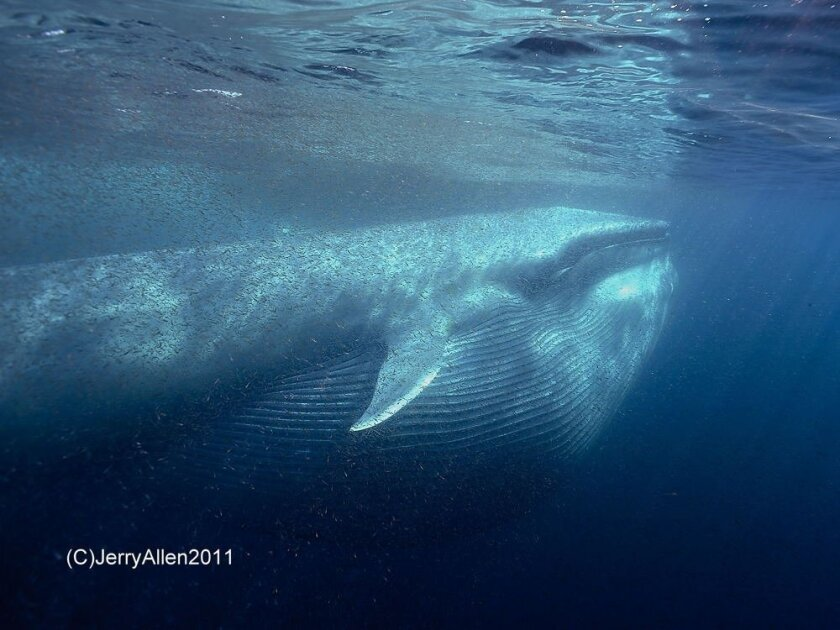 Local photographer Jerry Allen captured this image of a blue whale feeding at Nine Mile Bank off the coast of San Diego County.
