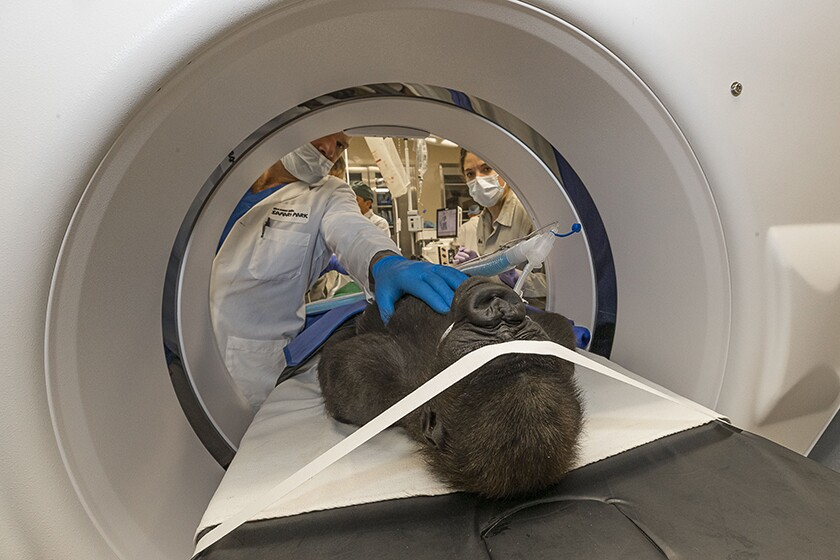 Cataract surgeon Chris Heichel and his team examine Leslie, a western lowland gorilla, at the San Diego Zoo Global's Paul Harter Veterinary Medical Center on Dec. 10.