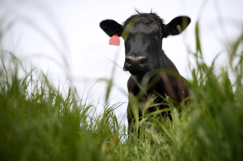 A cow grazes on grass at the Stemple Creek Ranch in Tomales, California.