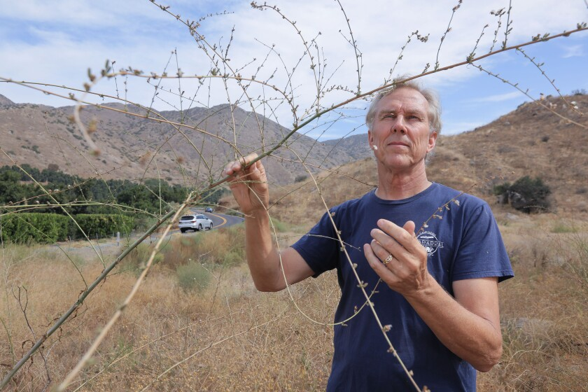 Richard Halsey, the Director of the California Chaparral Institute, holds a Twiggy wreath plant near state Route 78 in the upper San Pasqual Valley area. It is a native plant surrounded by invasive vegetation.