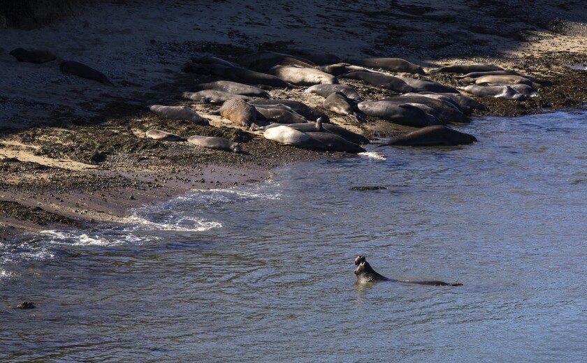 An elephant seal takes a swim as others nap in the setting sun at Chimney Rock in Iverness.