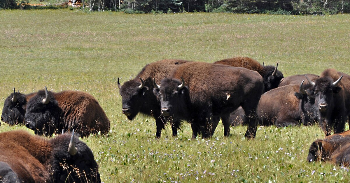 Grand Canyon officials to make another run at corralling and reducing bison herd - Los Angeles Times