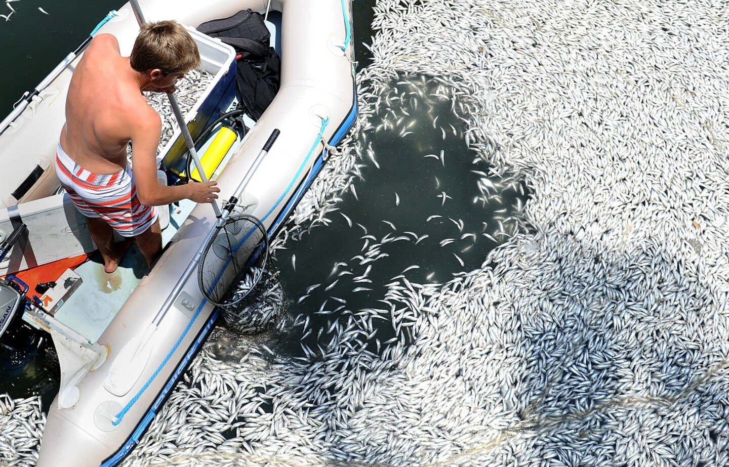 A man scoops up dead anchovies in Marina del Rey on Sunday.