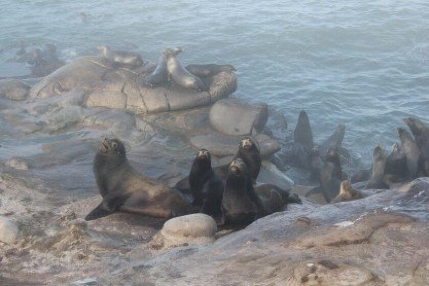 Sea lions gather on the bluff just below the spot at which city workers installed the gate Dec. 31.