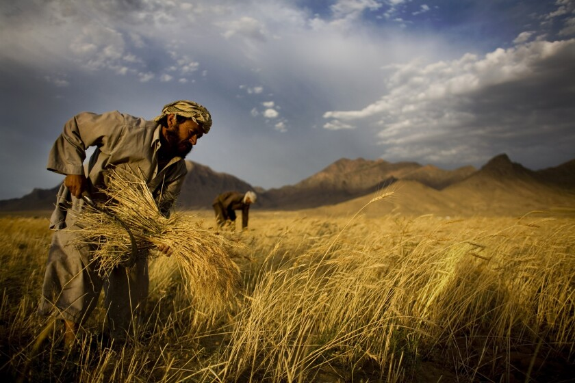 FILE - In this June 24, 2010 file photo, farmers harvest wheat outside Kabul, Afghanistan. (AP Photo/Dusan Vranic, File)
