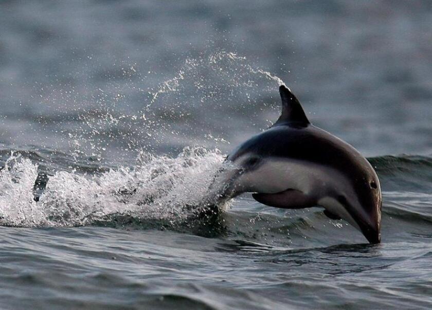 Imagen facilitada el 3 de noviemBre de 2008 de un delfín en el océano Atlántico, junto a Table Bay, Ciudad del Cabo, Sudáfrica. EFE/Archivo