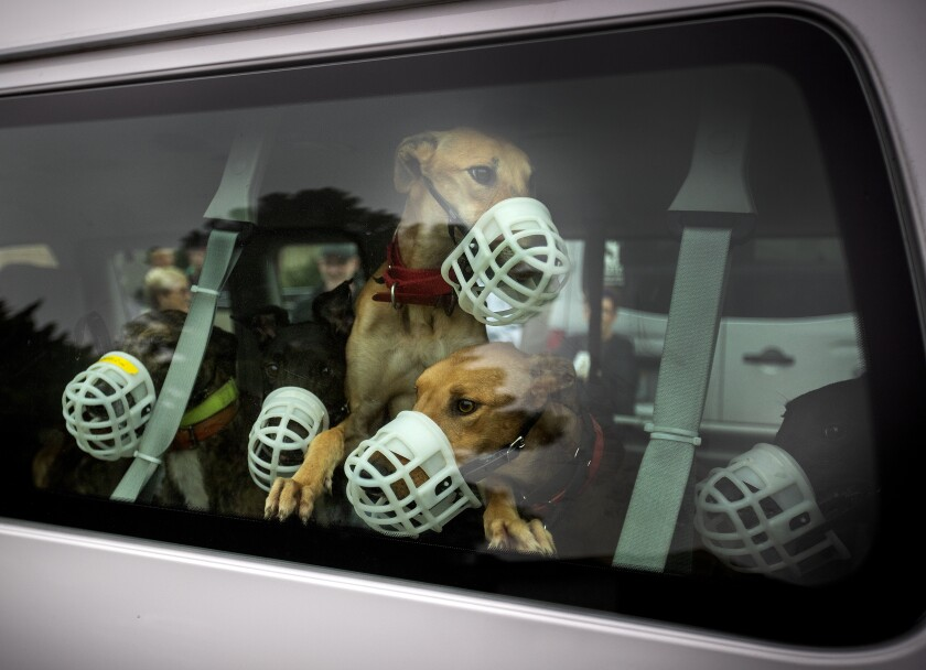 Muzzled greyhounds look out the window of a van.