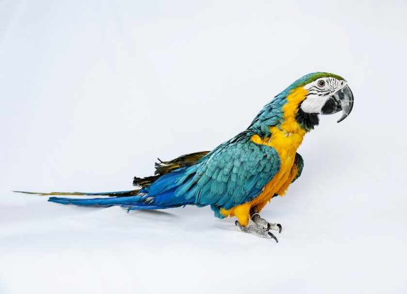 A blue-and-yellow Macaw named Jessie was stuck on the roof of a neighbor's home in London.