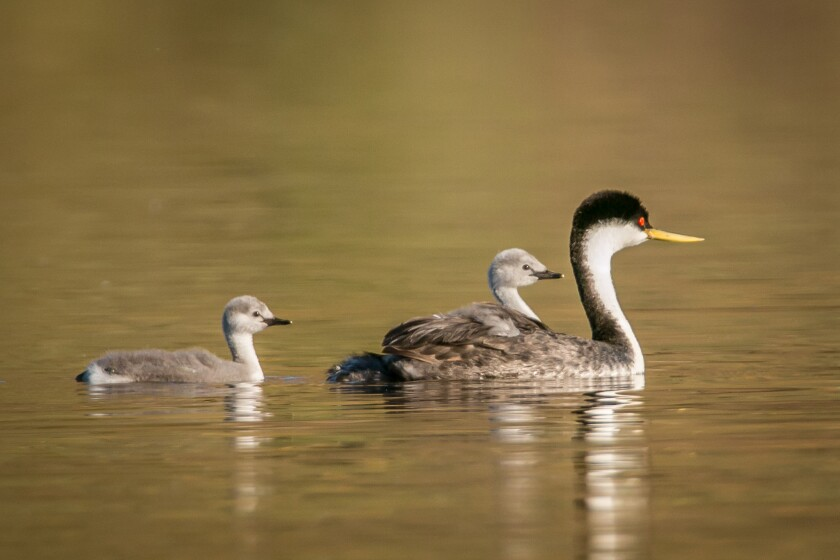 A Western grebe and chicks from a past nesting cycle.