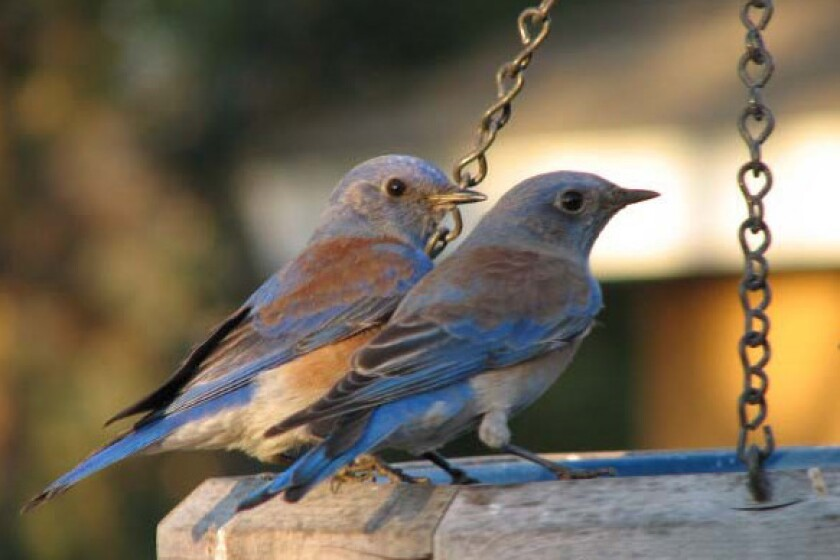 Bluebirds 1-crop.jpg