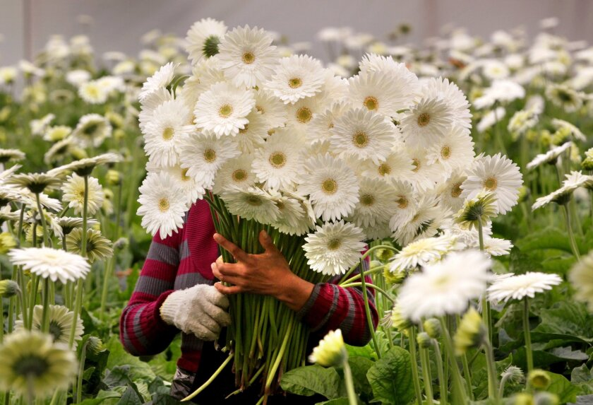 Alberta Martinez carries a large bunch of white Gerbera Daisies as she picks them for shipment at Dramm & Echter in Encinitas.