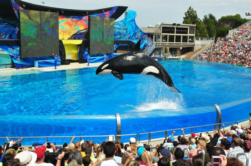 """Orcas perform in the """"One Ocean"""" killer whale show at SeaWorld San Diego."""