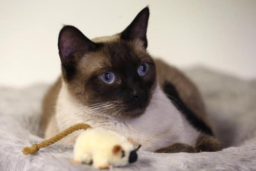 Senadora floridana quiere prohibir el quitarles las garras a los gatos