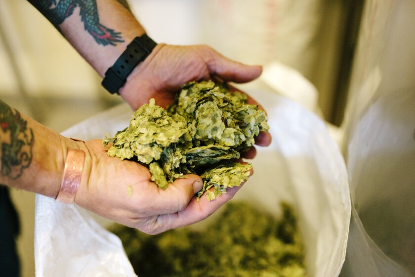 Hops, such as Cascade, are often used in a process called dry hopping