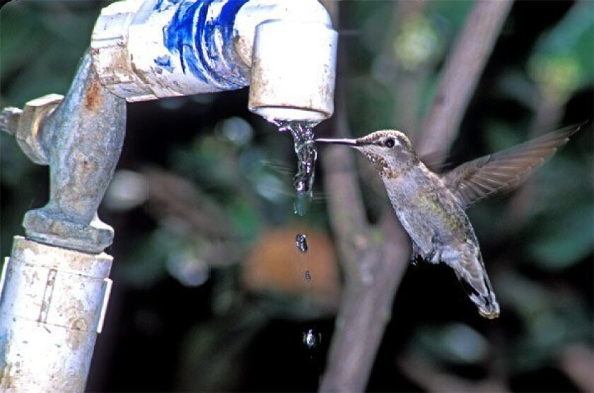 """An Anna's Hummingbird used """"the drip"""" before its removal at the Cabrillo National Monument in Point Loma. Officials took down the faucet in early 2008, shortly after a new superintendent arrived. (Anthony Mercieca)"""