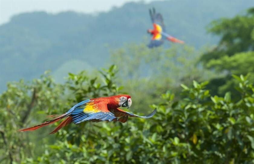 Vista de unas guacamayas rojas en peligro de extinción mientras son liberadas en la zona selvática del mexicano estado de Tabasco. EFE/Jaime Ávalos/Archivo