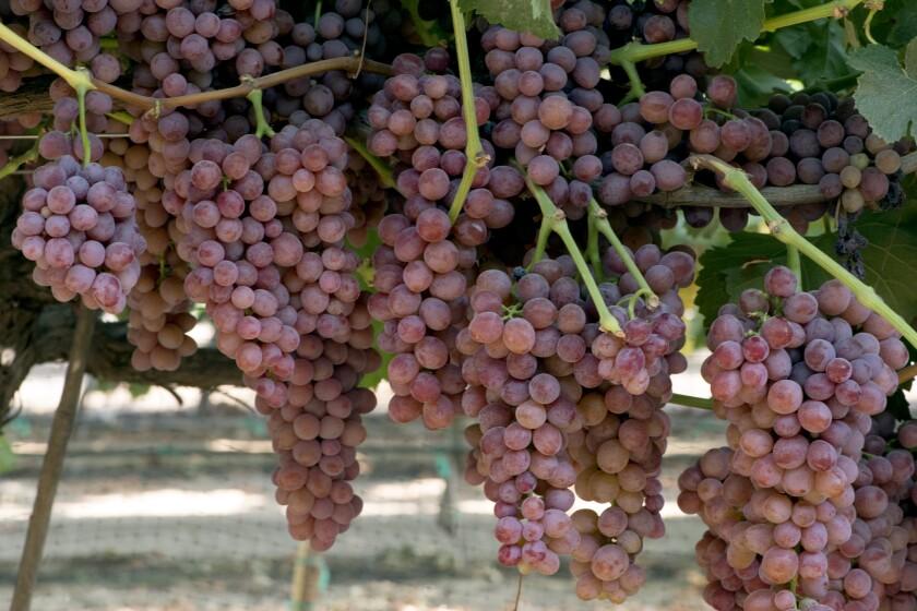 la-fo-grapes-grapes-grapes-003.JPG